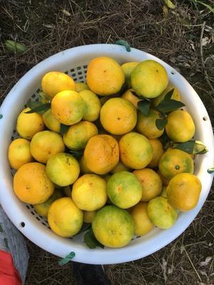这是一张关于蜜桔 5.5 - 6cm 2 - 3两 5公分以上,普早柑橘提前买咯!迟了就没了的产品图片
