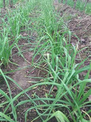 陕西西安红根蒜苗 50 - 60cm