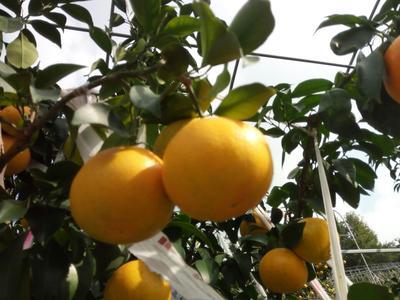 这是一张关于爱媛28号柑橘 4 - 4.5cm 1.5 - 2两的产品图片
