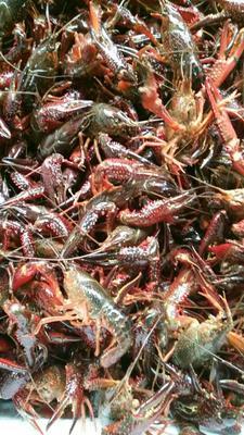 湖北武汉中国小龙虾 5-7钱 人工殖养