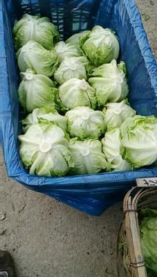 山东省济南市济阳县球生菜 1斤以上
