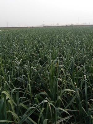 河北保定红根蒜苗 80 - 90cm