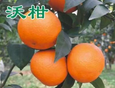 安徽六安寿县柑树苗 0.5~1米