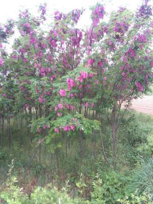 安徽滁州刺槐 红花 白花