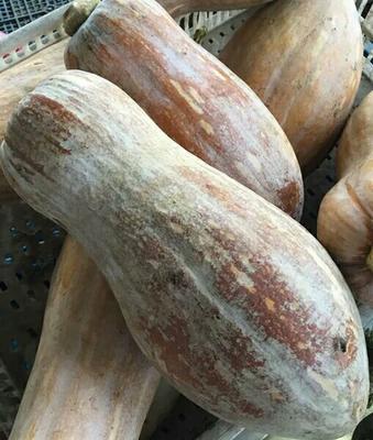 江西九江蜜本南瓜 4~6斤 长条形