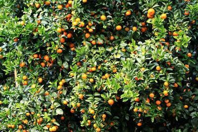 广西贺州沙糖桔 3 - 3.5cm 1.5 - 2两