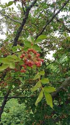 山东泰安岱岳区花椒种子 泰山大红袍出售,免费提供种植技术