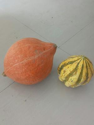 陕西省榆林市靖边县金瓜 0.4斤以下 扁圆形 金色南瓜 0.4斤以下 扁圆形