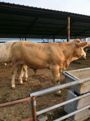 这是一张关于肉牛 800-1000斤 统货的产品图片