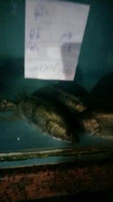广东珠海斗门区翘嘴鳜 人工养殖 0.8斤-1.4斤
