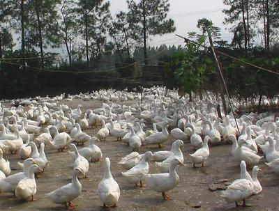 广西南宁樱桃谷肉鸭苗 孵化场批发18275723510