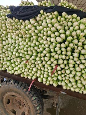 河北邯郸法国皇后芹菜 40~45cm 0.5~1.0斤