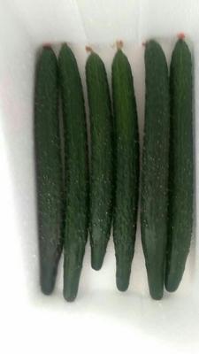 山东潍坊油亮密刺黄瓜 30cm以上 干花带刺