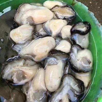 这是一张关于诏安湾生蚝 野生 20只/公斤以上的产品图片
