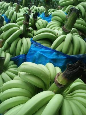云南红河金平香蕉 七成熟 40 - 50斤