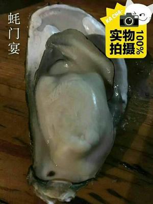 广东珠海福建生蚝 5-10只/公斤 人工殖养