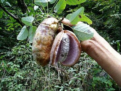 陕西铜川野生八月瓜 60-70g 种植