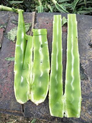 山东临沂红尖叶莴苣 50-60cm 1.5~2.0斤