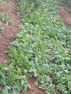安徽省宿州市埇桥区大红袍萝卜 1~1.5斤