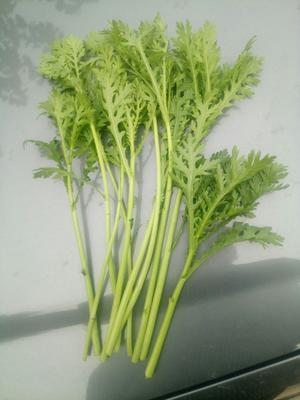 天津西芹 55~60cm 0.5~1.0斤