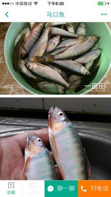 安徽宣城马口鱼 0.05公斤 野生
