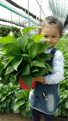 广东广州绿萝 盆栽室内吸除甲醛防辐射植物