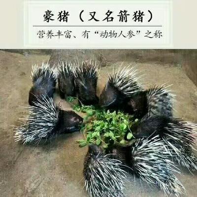 四川内江四川豪猪 20-30斤