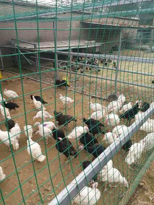 这是一张关于鸡 4-5斤 统货的产品图片