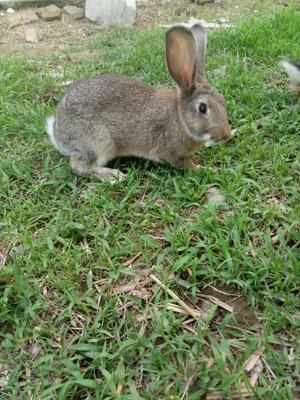这是一张关于比利时野兔 5斤以上的产品图片