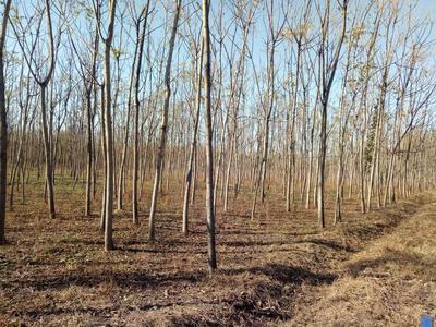 河北衡水深州市千头椿树