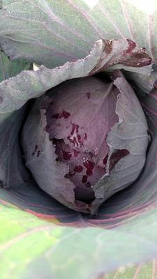河北省邯郸市肥乡县紫甘蓝 2.0~2.5斤