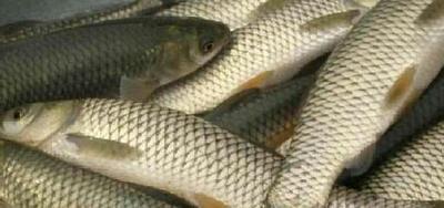 湖北荆州池塘草鱼 人工养殖 1-2.5公斤