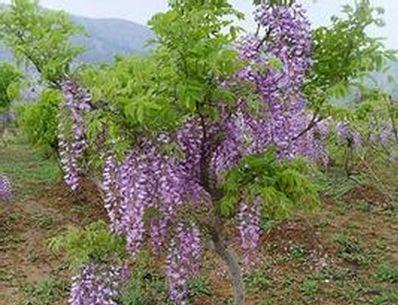山东省泰安市岱岳区白花紫藤 0.5~1米 1公分以下