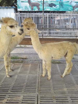 这是一张关于澳洲羊驼的产品图片