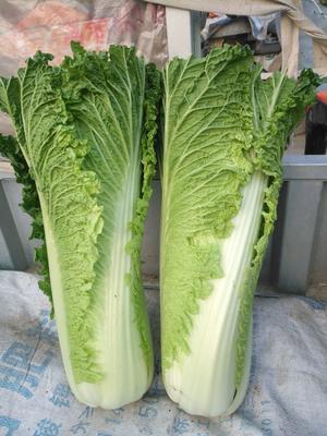河北省唐山市玉田县玉田大白菜 3~6斤 净菜