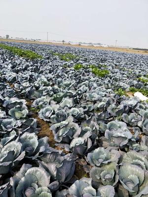 山东省潍坊市寿光市紫甘蓝 2.0~2.5斤