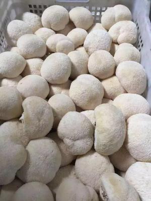 云南昆明官渡区短刺猴头菇 7~9cm