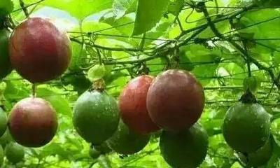 福建龙岩紫香一号百香果 70 - 80克