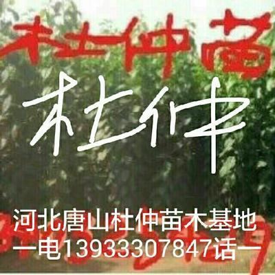 河北唐山迁安市一岁藤 0.5~1米 1~2公分