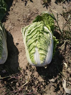 吉林省四平市梨树县玲珑黄白菜 3~6斤 净菜
