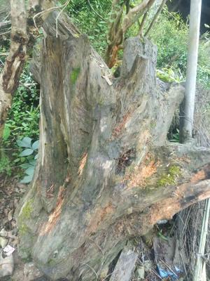 贵州省铜仁市江口县楠木树桩