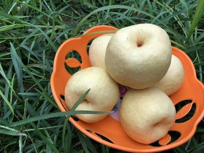 这是一张关于砀山酥梨 150-200g 75mm以上的产品图片