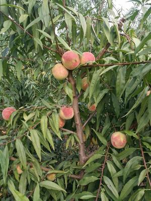 山东潍坊寿光市秋红桃 60mm以上 5两以上