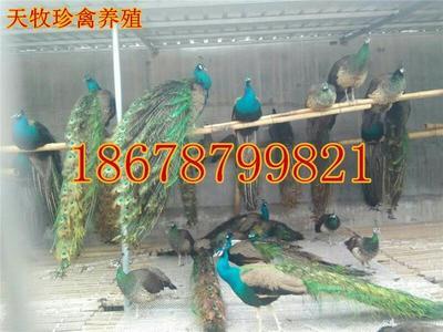这是一张关于蓝孔雀的产品图片