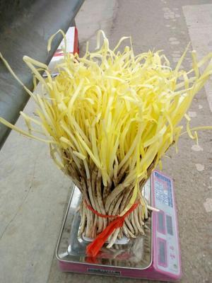 甘肃兰州黄韭芽 头茬 50~60cm