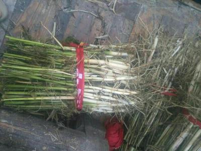 河北保定安新县芦苇草