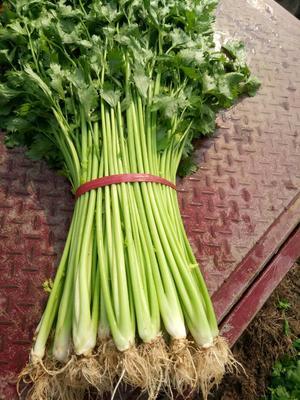 山东泰安玻璃脆芹菜 55~60cm 0.5斤以下