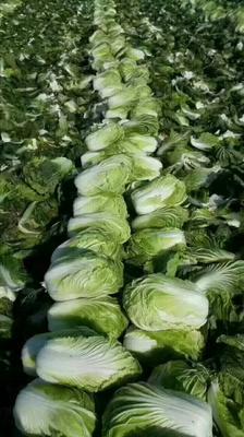 这是一张关于青杂三号白菜 6~10斤 净菜 诚信经营。货源充足。的产品图片