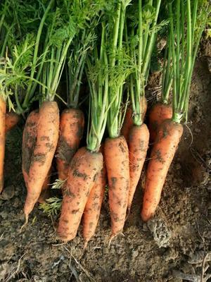 山西忻州小顶胡萝卜 15cm以上 3两以上 3~4cm