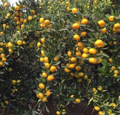 广西桂林南丰蜜桔 4 - 4.5cm 1两以下